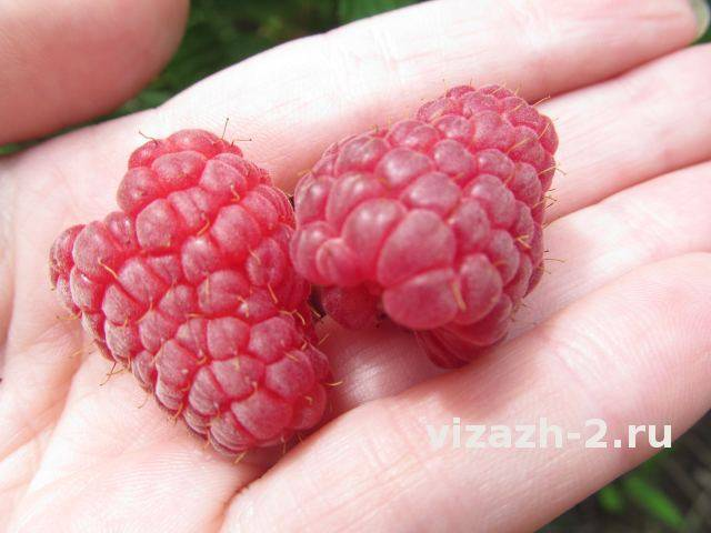 Малина брянская: описание сорта и особенности выращивания