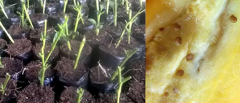 Фрукт пепино: описание и советы по выращиванию