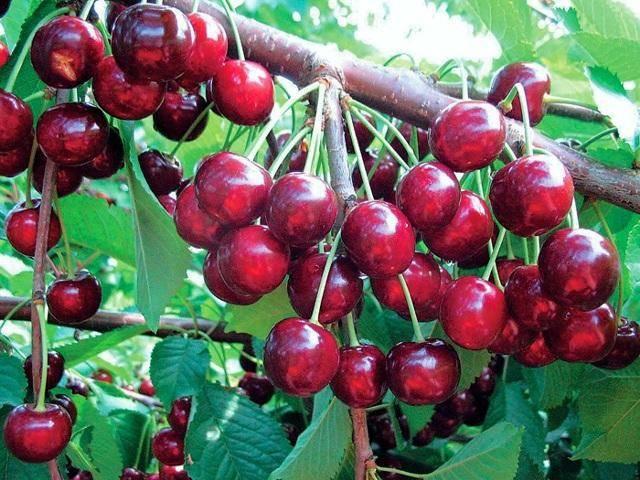 Черешня тютчевка: описание и характеристика позднего сорта, выращивание, уход, отзывы