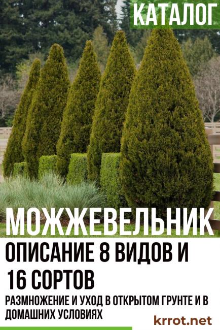 Можжевельник «блю стар» (24 фото): описание сорта можжевельника чешуйчатого, посадка и уход, использование в ландшафтном дизайне