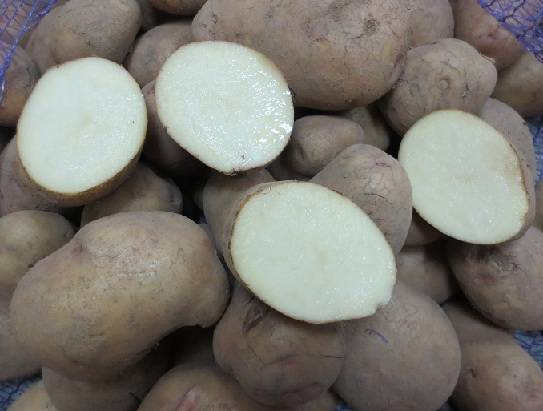 Картофель аврора : описание сорта, посадка и уход