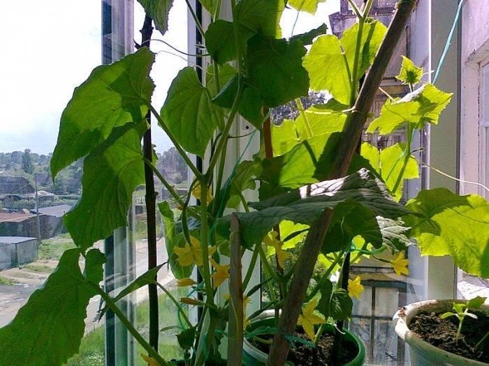 Огурцы на балконе - выращивание пошагово