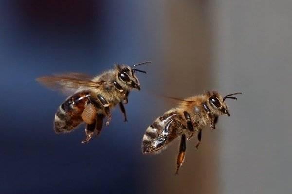 Пчела: описание, размножение, образ жизни, ареал, питание, враги, как делают мед, интересные факты