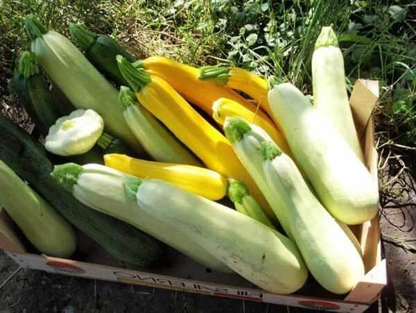 Как правильно выращивать кабачки в теплице?