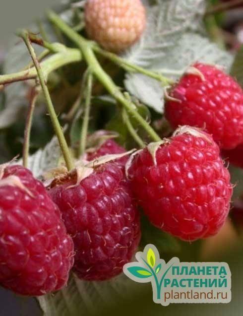 Хорошие сорта малины из отзывов садоводов