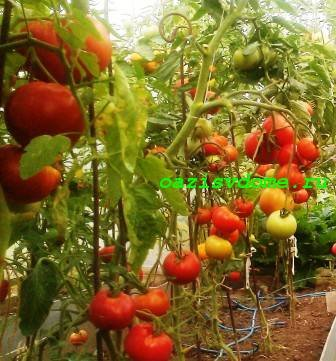 Когда высаживать помидоры в теплицу из поликарбоната