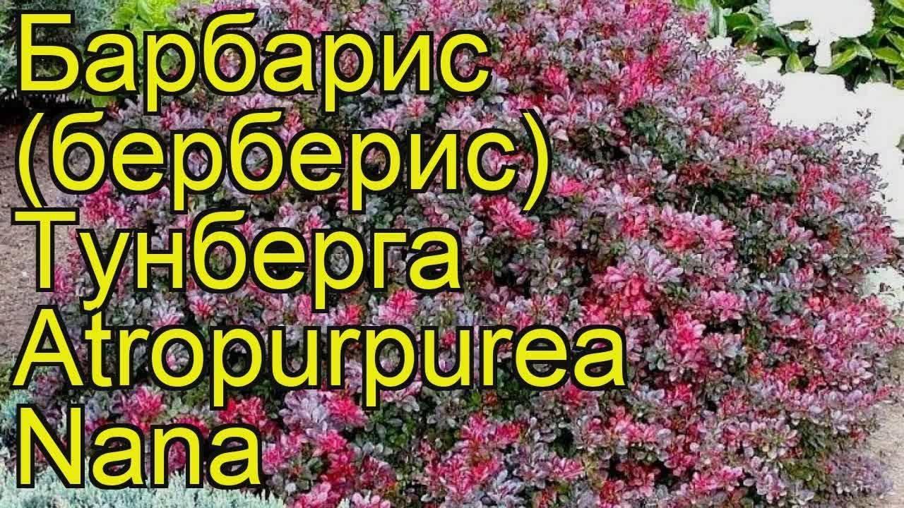 Барбарис тунберга «атропурпуреа» (31 фото): описание berberis thunbergii atropurpurea, высота кустарника. какое должно быть расстояние между растениями? посадка и уход