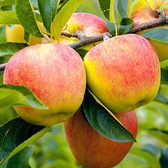 Такая разная яблоня антоновка: описание, фото