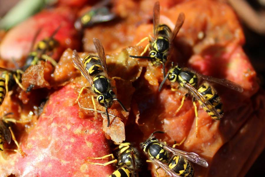 Первая помощь ребенку при укусе осы в домашних условиях