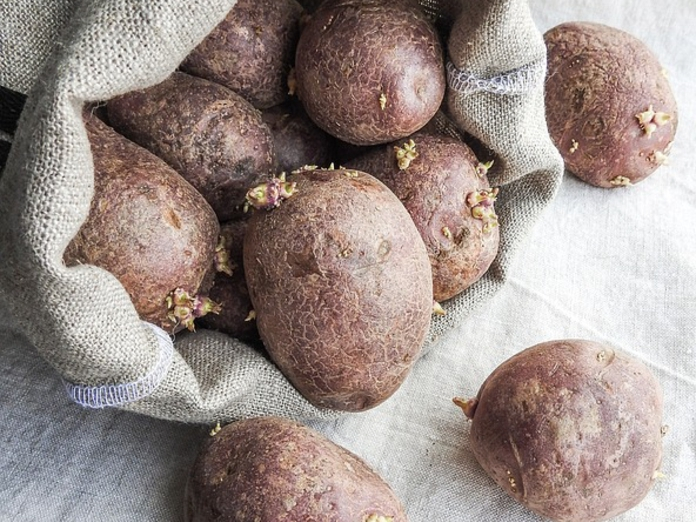 Обработка клубней картофеля перед посадкой от фитофторы