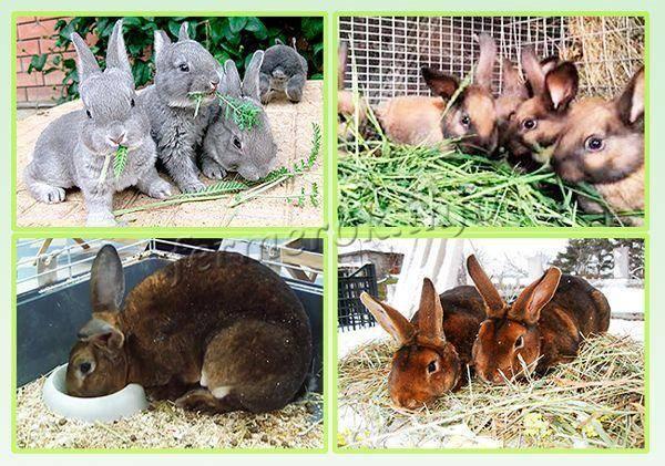 Кто такой кролик породы рекс: красивый зверек, мясной производитель или просто домашний любимец?