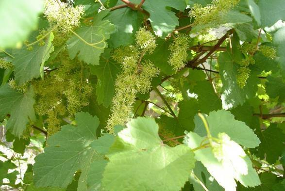 Амурский виноград –  описание сорта, посадка и уход и лечебные свойства