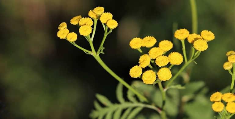 Цветок бессмертник: фото, лечебные свойства и противопоказания