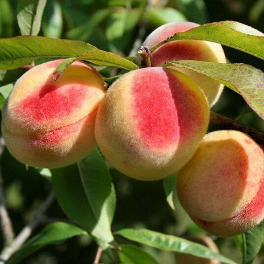 Характеристика и правила выращивания персика донецкий жёлтый