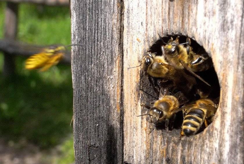 Как пересадить пчел в чистый улей весной?