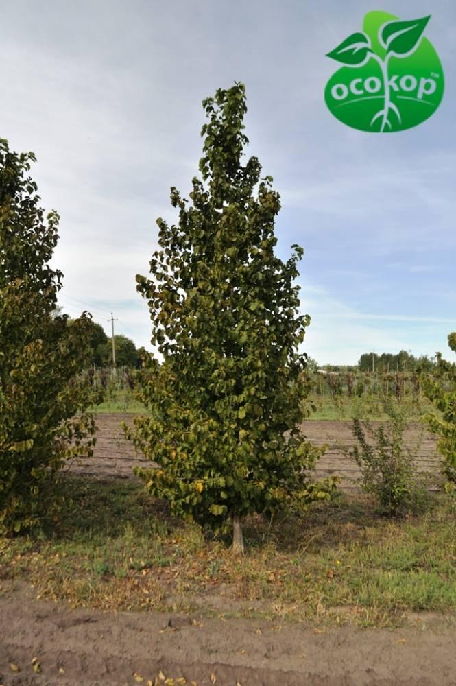 Орешник (орех) — это дерево или кустарник