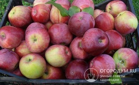 Яблоня «cлава победителям»: описание сорта, фото и отзывы