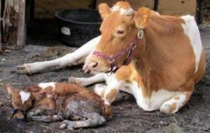 Послеродовой парез у коров — причины, симптомы и лечение, профилактика