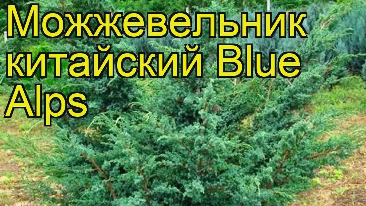 Выращивание на приусадебном участке китайского можжевельника блю альпс