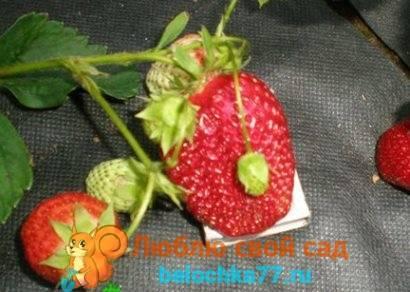 Клубника фейерверк: описание и характеристики сорта, выращивание и размножение