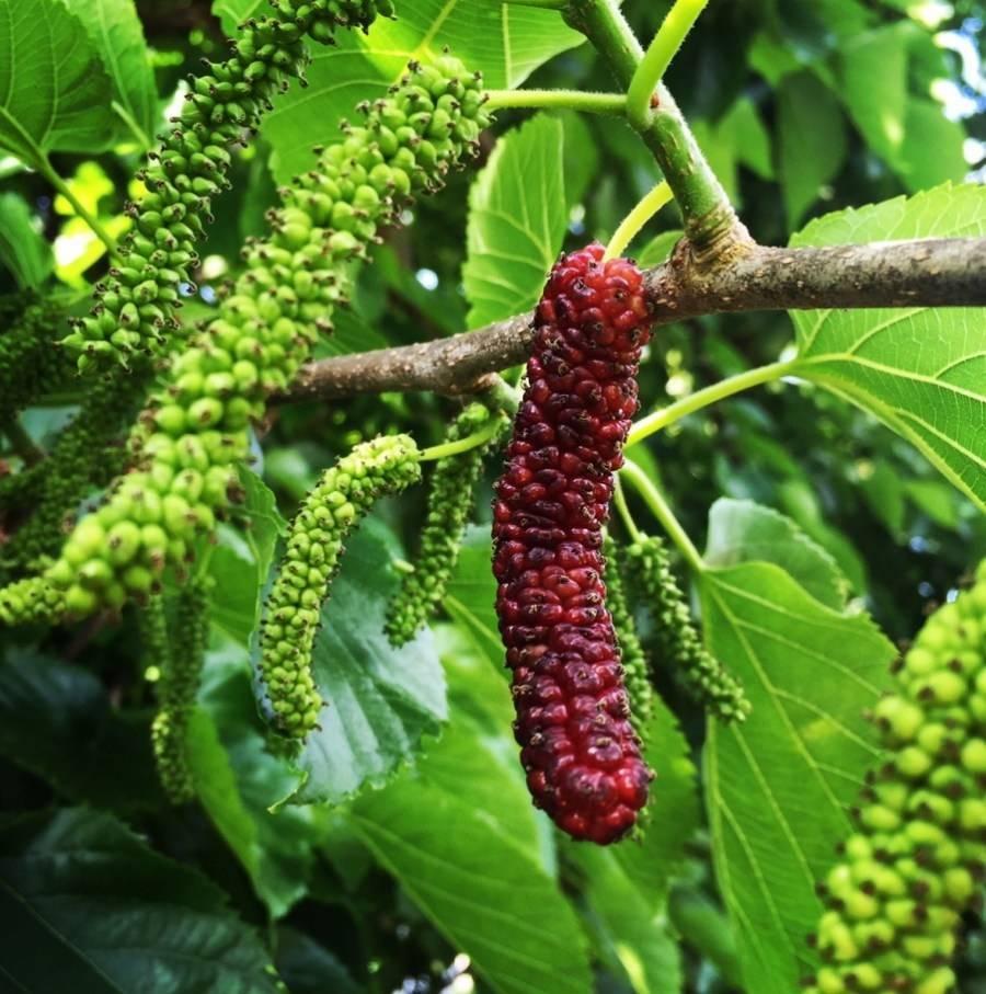 Шелковица – тутовое дерево
