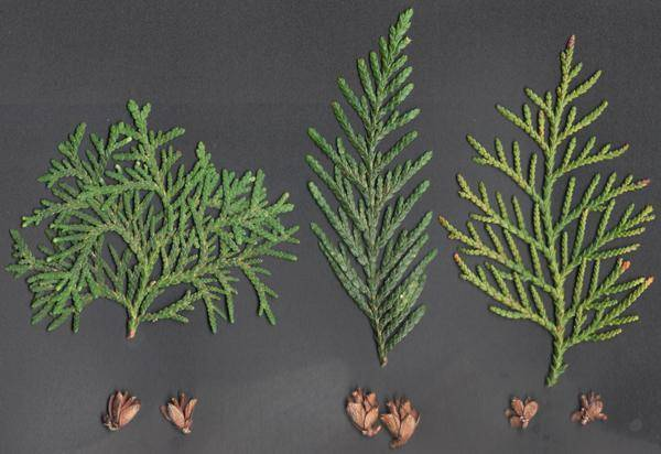 Кустарниковые можежевельники: как размножается можжевельник в домашних условиях