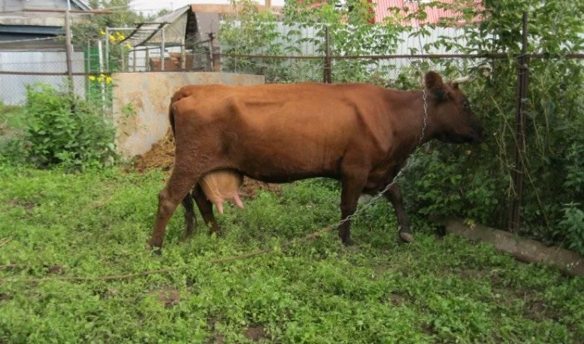 Мясная герефордская порода коров: характеристики бычков и телят - фото и описание крупного рогатого скота