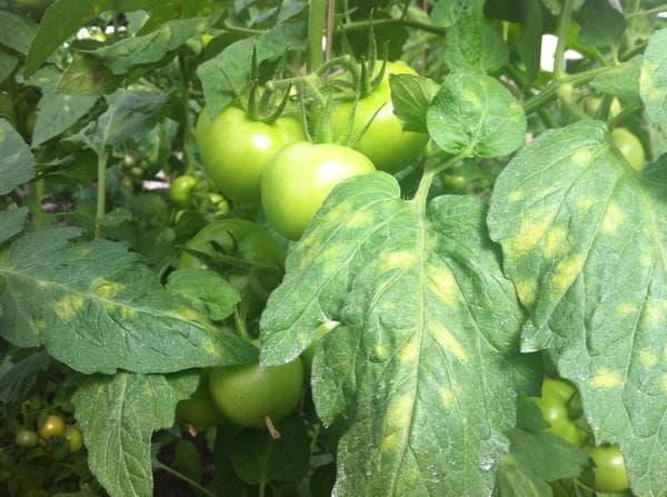 Вредители томатов - 135 фото основных вредителей и обработка томатов