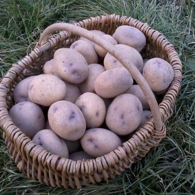 Сорт синеглазка: характеристика и описание картофеля