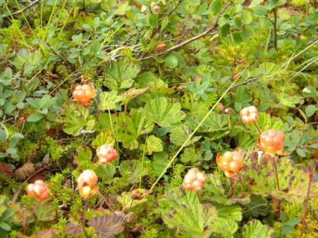 Где растет морошка. полезные свойства ягоды. применение морошки в народной медицине