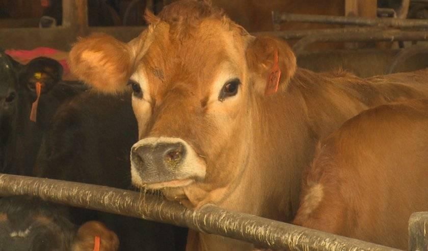 Злокачественная катаральная горячка крупного рогатого скота