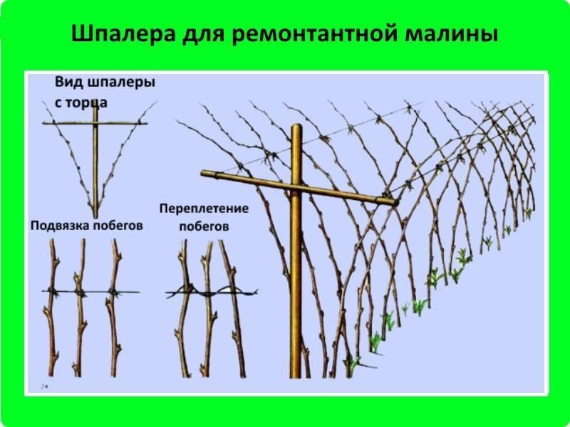 Особенности выращивания ремонтантной малины и правила ухода за ней