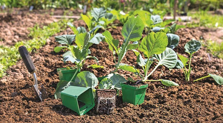 Когда сажать капусту на рассаду в 2020 году в домашних условиях