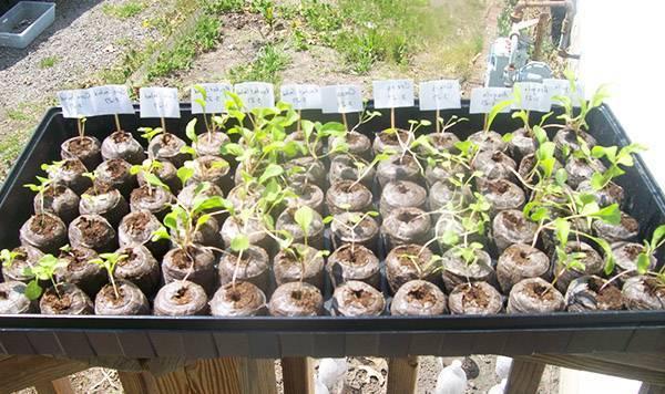 Торфяные горшочки и таблетки для рассады помидоров