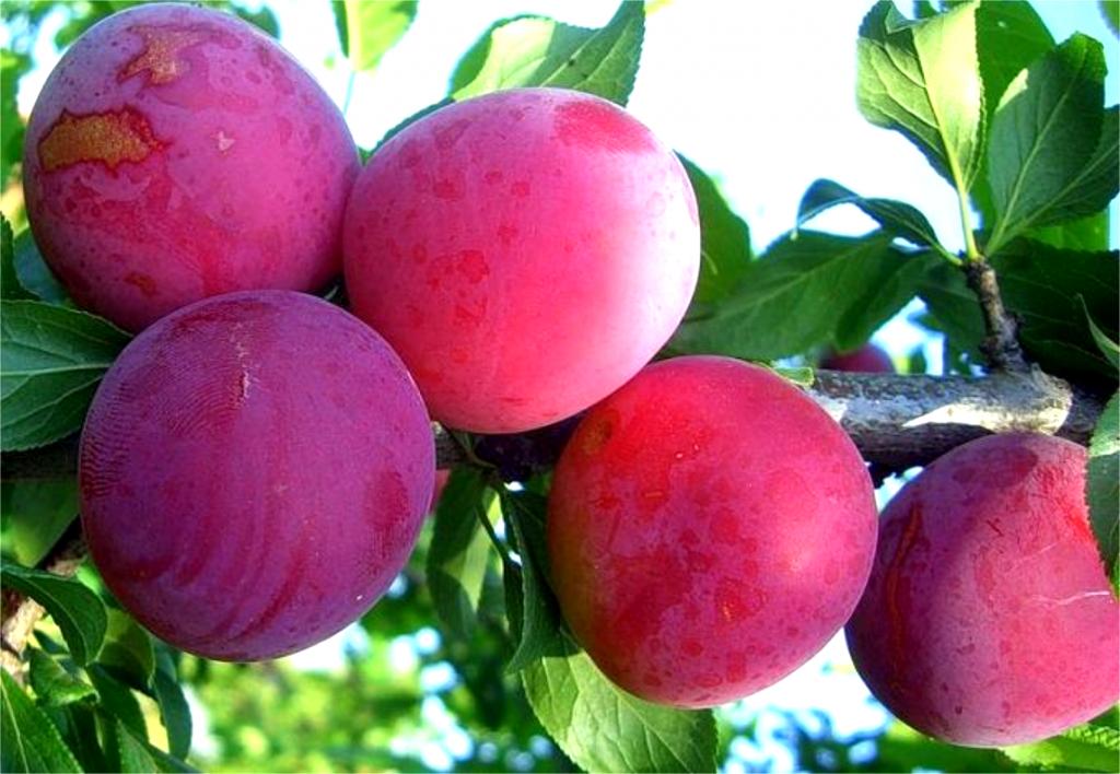 Скороплодный морозоустойчивый гибридный сорт абрикосовой сливы