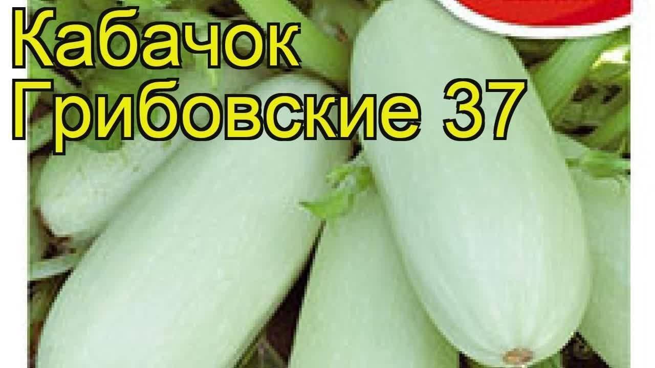Кабачок грибовский 37: описание сорта, посадка, особенности выращивания рассады, уход, отзывы огородников