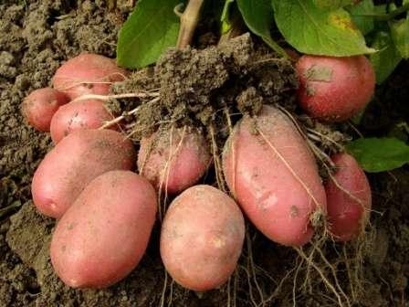 Картофель «журавинка» — урожайный и чипсовый