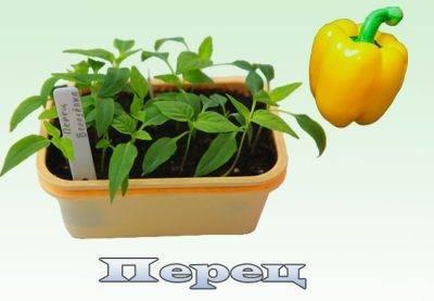 Подготовка семян перца и баклажан к посеву на рассаду: как выбрать и отбраковать посевной материал, все этапы подготовки к посадке
