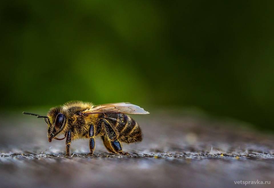 Собаку, кота укусила пчела или оса - что делать?