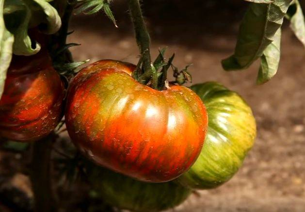 Эффектный сорт с бесподобным вкусом — томат розовый сибирский тигр: описание помидоров
