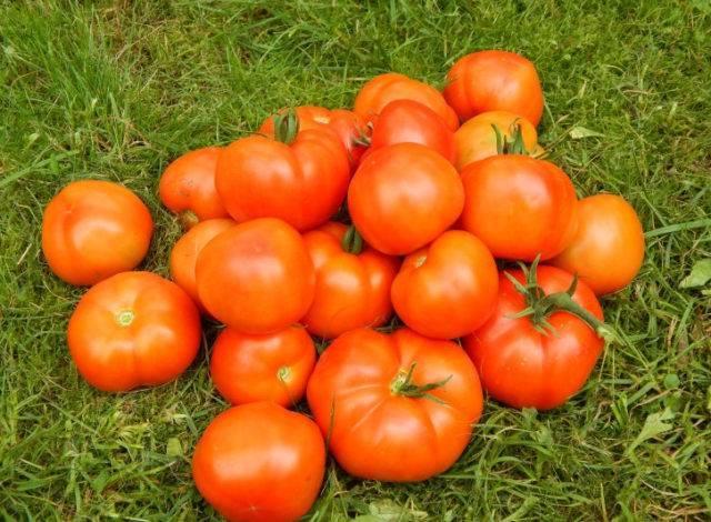 """Томат """"огородник"""": фото и описание чудесного сорта помидор, отлично растущих в теплице"""