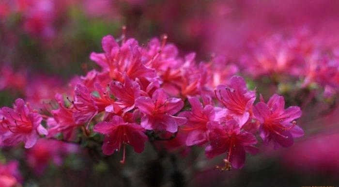 Рододендроны в подмосковье: сорта, посадка и уход