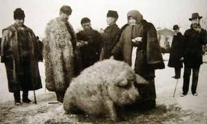 Травоядные свиньи: породы, характеристика, достоинства, недостатки