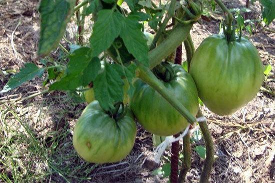 Характеристика и описание томата медовый спас