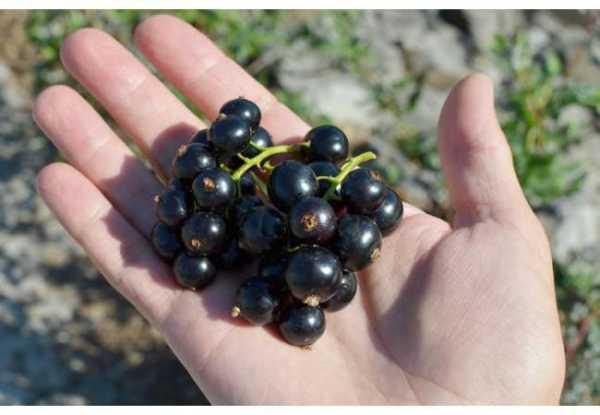 Смородина титания и другие вкусные и высокоурожайные сорта для умеренной климатической зоны!