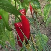 Описание и правильное выращивание сорта перцев какаду