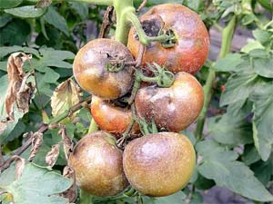 17 лучших способов борьбы с фитофторой на помидорах