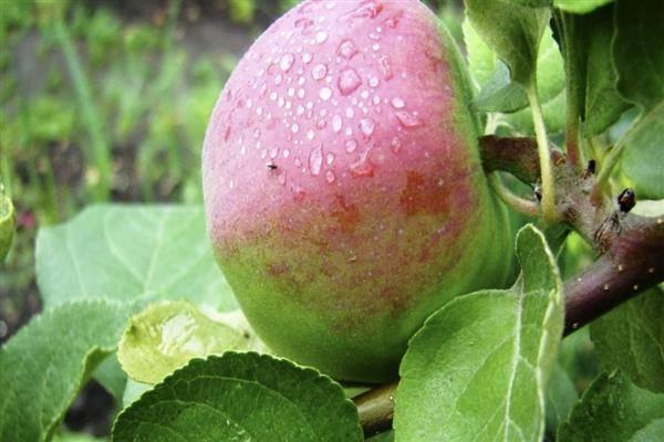 Сорт яблок россошанское полосатое фото и описание