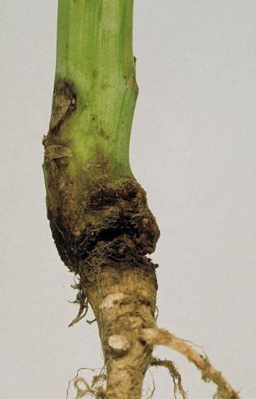 Черная ножка у рассады томатов: причины и способы лечения