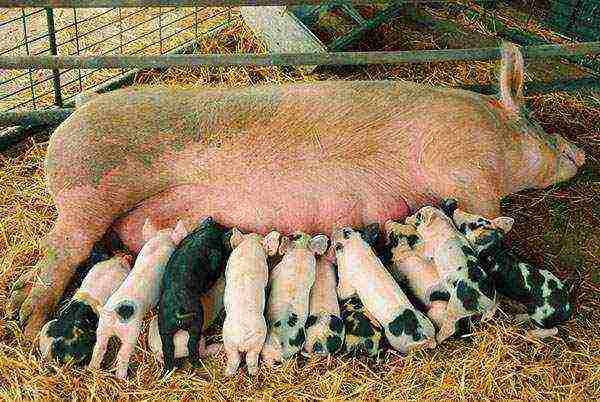 Как правильно кормить свиней: рацион и нормы